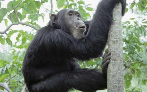 обезьяна, дерево, лезет