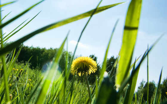 summer, sun, природа, растения, трава, rays, листва, одуванчик,