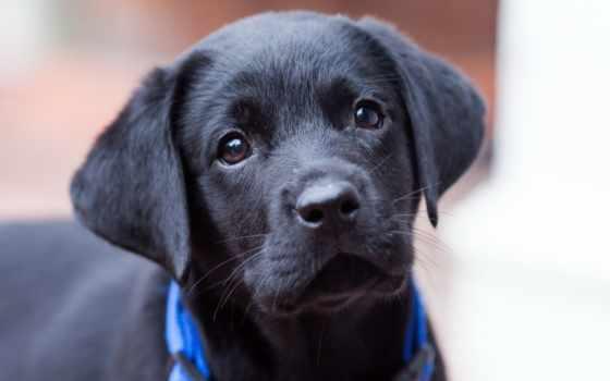 labrador, породы, щенок, black, разных, разрешениях, собака,