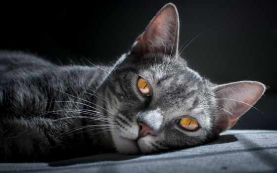 кошка, животное, фотообои, кот, kot, домашний, сибирский, kartinka, доставка, черная, изображение