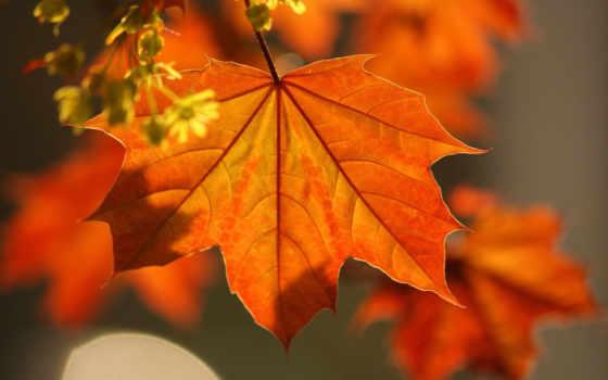 осень, клен, листья