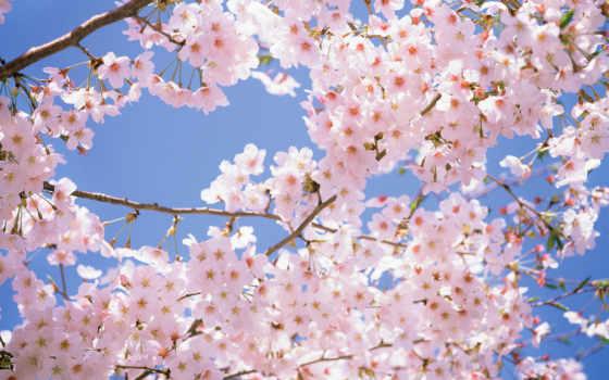Сакура, дерево, цветы