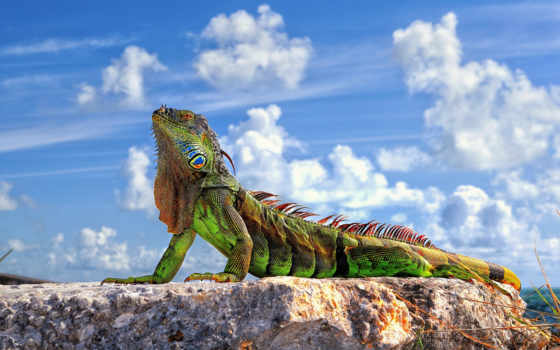 iguana, году, описана, научно, была, шведским, карлом, десятом, линнеем, обыкновенная, врачом,