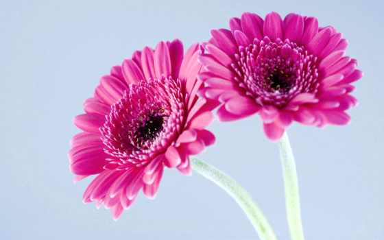 gerbera, герберы, цветы