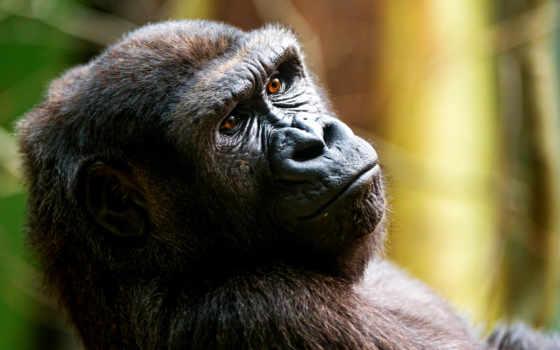 теме, respek, блог, обезьяна, горилла, marbella, club, desktop, широкоформатные,