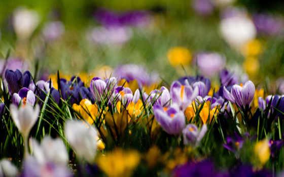 весна, cvety, крокусы, фиолетовые, поляна, желтые, первоцветы,