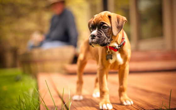 boxer, изображение, dogs, animals, free, desktop, perro, щенок, fondos,