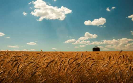 поле, пшеница, небо, summer, oblaka, природа, колоски, gold,