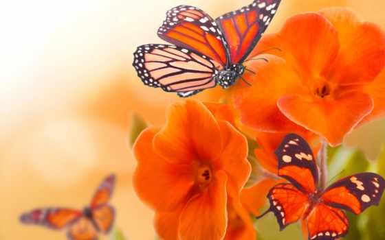 cvety, бабочки, природа, бабочка, макро, цветах, картинка, фотоколлаж, разрешениях, разных,
