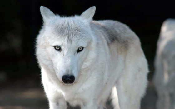 волк, белый