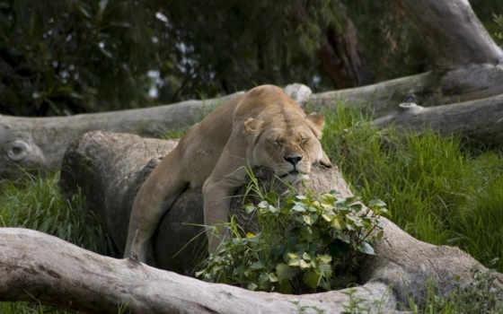 животные, природа, львы