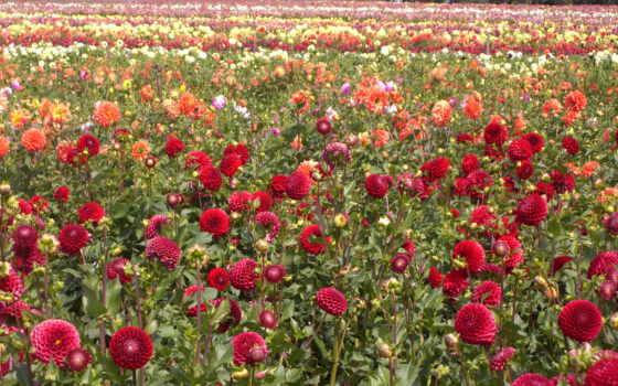 цветы, георгины, тюльпаны