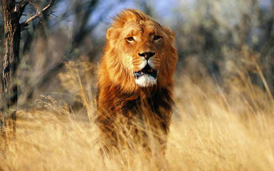 , lion, cleo, природа, грива