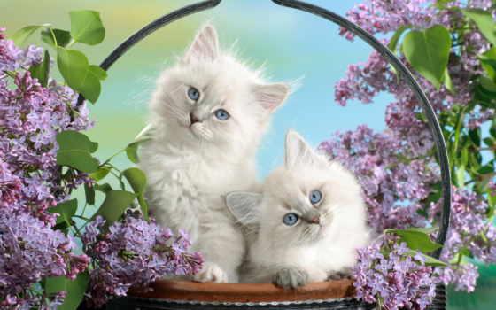 котята, кошки, пушистые Фон № 58679 разрешение 1920x1200