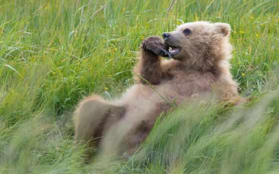 медведи, бурые, desktop