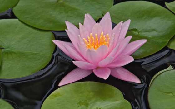 lily, водяная, кувшинка, цветы, water, lotus, листва, розовый, розовая,