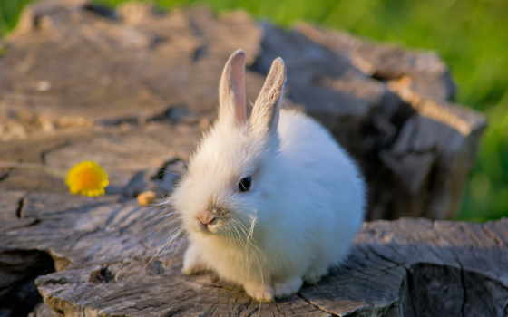 заяц, white, кролик