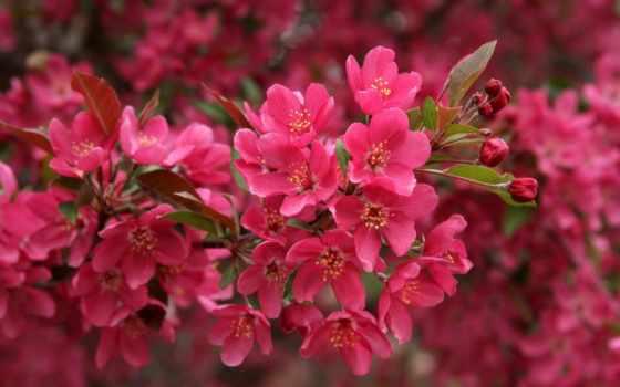 цветы, весна, розовый, Сакура, лепестки, цветение, browse, страница, весенняя, цветущая, branch,