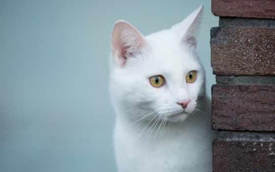кот, белая, взгляд, кошки, чему, white, выглядывает, за, снится, снятся,
