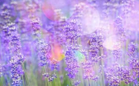 cvety, levandule, tapety, lavender, блики, explore, květiny,
