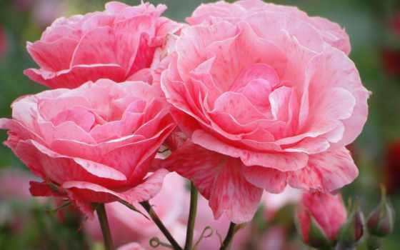 цветы, розовые, распустившиеся