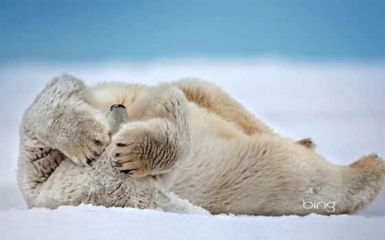 медведь, white, медведи, снег, снегу, белые,