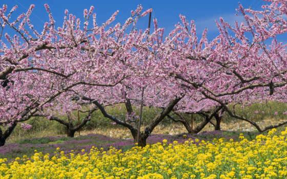 япония, весна, nanohana, nirasaki, yamanashi, персик, pinterest, stock, trees,