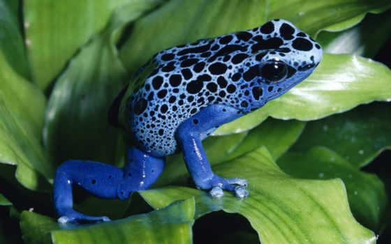 frog, blue