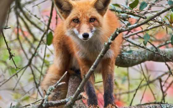 лисы, лесу, лиза, лисица, zhivotnye, клипарт, растровый, лис, ucoz, hosted,