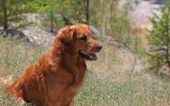 собака, retriever, собаки, природе, картинка, смотреть, sit,