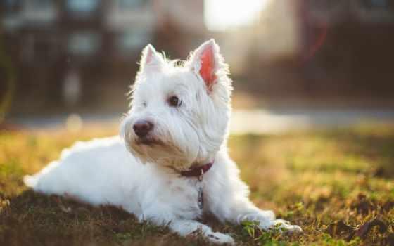 бультерьер, уайт, west, highland, собака, собаки, породы, white, zhivotnye,