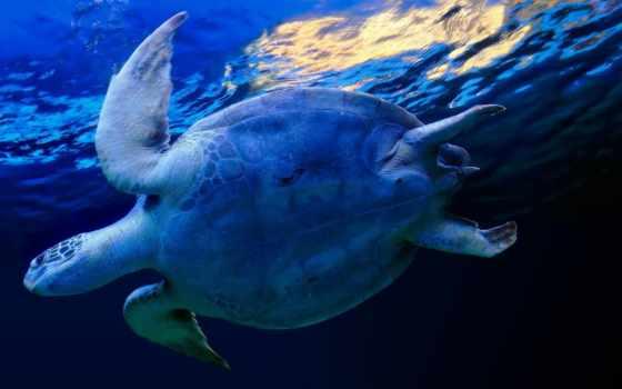 черепаха, морская, под, широкоформатные, большая, water,