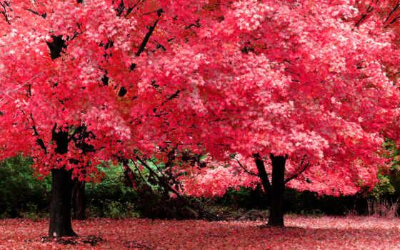 осень, картинка, красная