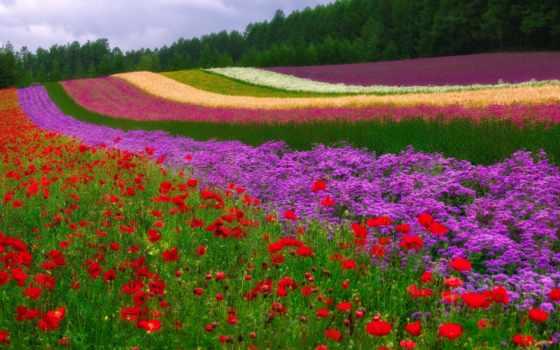 поле, красивые, stil, робочий, streaks, цветы, шпалери, маки, красиві, квіти, картинок,