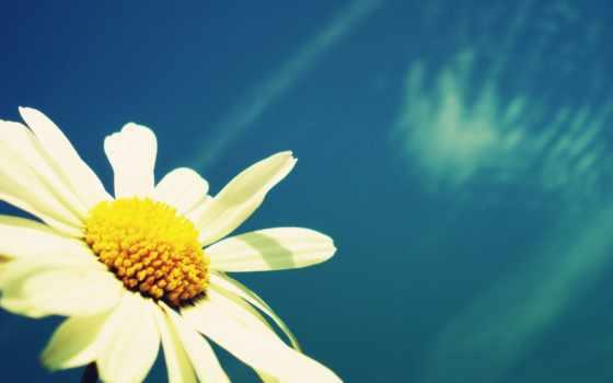ромашка, цветы, ромашки, найти, наши, быстро, следующим, possible, тегам, неба, fone,
