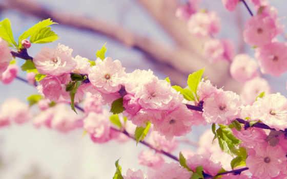 fone, широкоформатные, весна, цветение, разных, весенние, cvety, розовое, вишни,