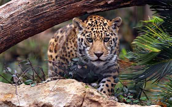 jaguar, дерево, камень, природа, leaf, глаза, охота