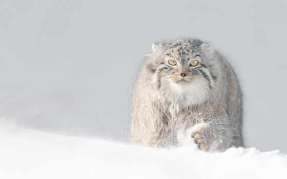 winter, снег, манул, пушистый, кот, animal, полет, птица