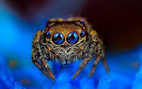 blue, паук, глазастый, прыгун, заставки, драгоценные, картинка,