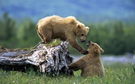 медведь, медведи, zhivotnye, картинка, дерево, дереве, браун,