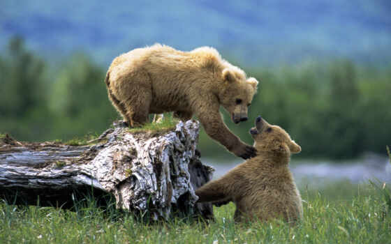 медведь, медведи, zhivotnye