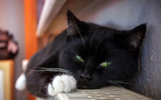кот, magazine, племя, images, pixabay, free, шубка, calming,