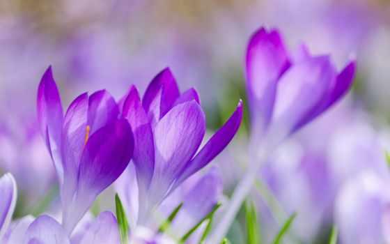 cvety, макро, сиреневый, другие, качество, free, собранный, fonwall, flora, фото