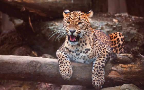 леопард, african, хищник, pardus, animal, котенок, кот, panthera, sr, kotiya