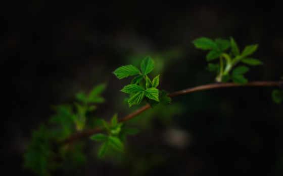 темный, makro, листья