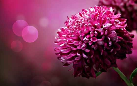 цветы, lovely, розовый