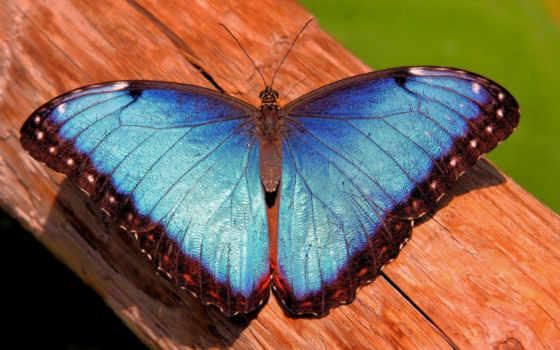 бабочка, blue, desktop, animals, pin,