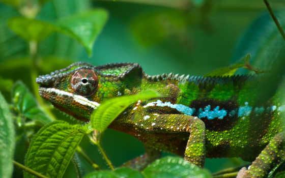chameleon, desktop, коллекция,