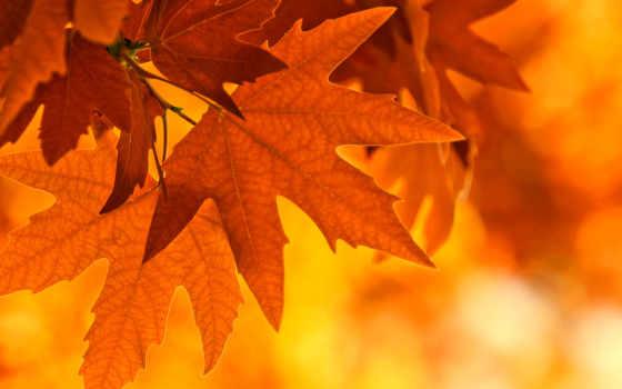 листва, осень, maple, branch,