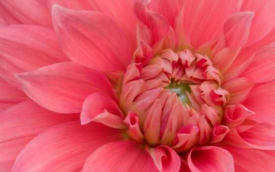 cvety, красивые, страница, коллекция, dahlia, пионы, розовый,